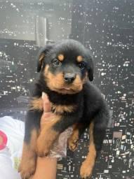 Rottweiler Filhotes a pronta entrega Cabeça de Touro