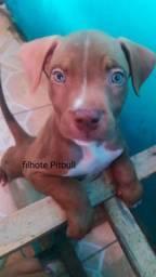Pitbull monster filhote
