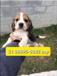 Título do anúncio: Canil Filhotes Cães Miniaturas BH Beagle Maltês Yorkshire Shihtzu Lhasa Basset Poodle