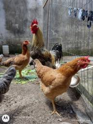 Título do anúncio: Vendo 06 galinhas e 01 galo