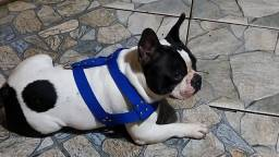 Lindo bulldog francês a procura de uma namorada