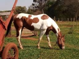 Vendo garanhao paint horse puro