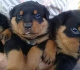 Título do anúncio: Top filhotes de Rottweiler