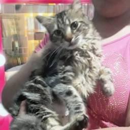 Título do anúncio: doação linda gata tigrada peluda casrtrada 6 meses