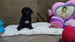 Filhotes de Pug com pedigree
