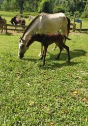Égua mansa excelente para criança.