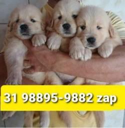 Título do anúncio: Cães Filhotes Para Pessoas Exigentes BH Golden Dálmata Boxer Labrador Pastor