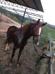 Cavalo MM Paulista