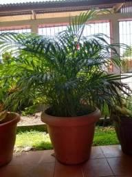 Planta palmeira