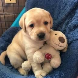 Labrador nas cores chocolate/amarelo/preto, machos e fêmeas vacinados e vermifugados