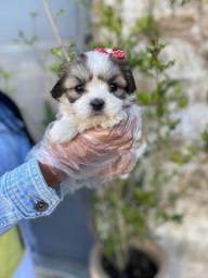Lhasa Apso todas as cores, com pedigree e suporte veterinário gratuito!