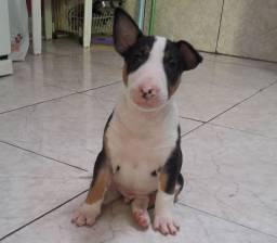 Macho tricolor bull terrier