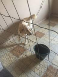 Doação de um lindo cão labrador