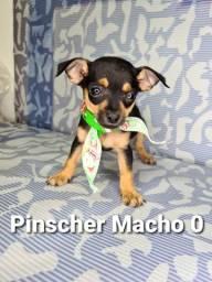 Pinscher charmosos entregamos
