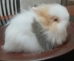 Título do anúncio: Teddy Dwerg Mini coelho - Porte anão - Macho