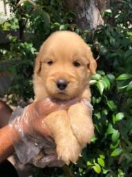 Golden retriever filhotes lindos e fofinhos com garantias de saúde