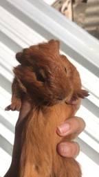 Título do anúncio: Porquinhos da Índia (Guinea Pig)