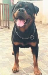 Título do anúncio: OPORTUNIDADE Plantel de Rottweiler com Pedigree CBKC
