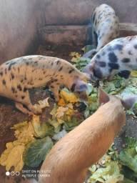 Vendes-se porcos vivos