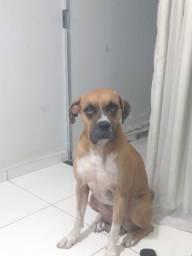 Título do anúncio: Cachorro Boxer