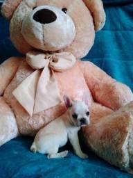 Título do anúncio: Maravilhosos Bulldog Francês