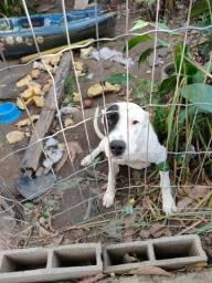 Título do anúncio: Cachorro dog argentino um ano dócil