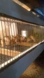 Título do anúncio: Pintinhos e Frango de galinha da Angola