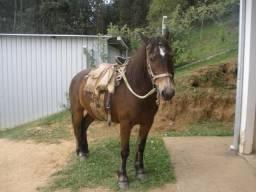 Egua bem mansa de montaria