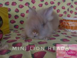 Mini Coelhos Lion Head + ração + feno