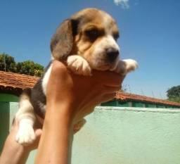 Filhotes de Beagle com Pedigree