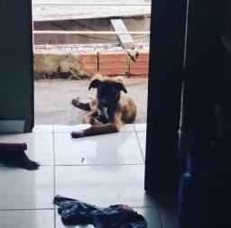 Cachorro vira lata para adoção