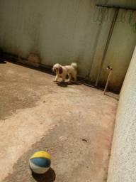 Doace uma cachorrinha da raca poodol com vacinacao em dia tem carteira de vacina