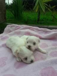Malteses filhote macho e fêmea micro