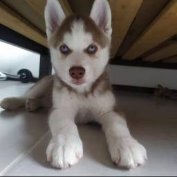 Título do anúncio: Filhotes Husky Siberiano machos e fêmeas disponível.