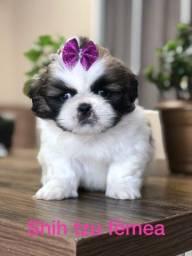 Título do anúncio: Linda bebês Shih Tzu fêmea linda