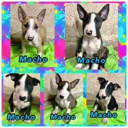 Título do anúncio: Bull Terrier Inglês white,Fawn e White,Brindle e White,Black Brindle e White,Brindle
