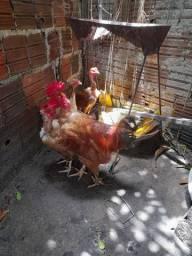 Galo E galinhas vermelho pesadao.