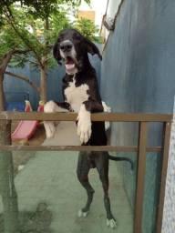 Título do anúncio: Doa-se  filhote de dog alemão