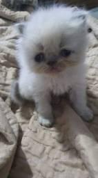 Filhote de gato persa