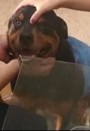 Título do anúncio: Procuro fêmea de Rottweiler para acasalamento.