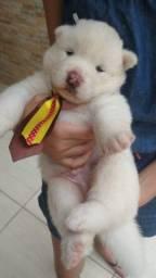 Título do anúncio: Vendo filhote de Akita Inu Branco macho