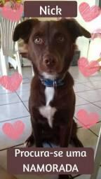 Labrador Namorada para meu cachorro