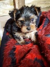Yorkshire Terrier Mini Filhote