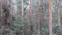 Vende-se pés de eucaliptos