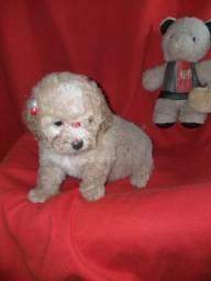 Lindos filhotes de poodle mini e micro já disponíveis para entrega!!!