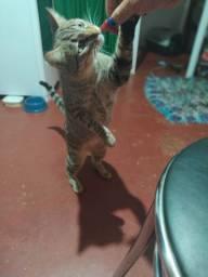 Doando gato castrado