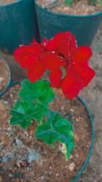 Mudas de forraçoes, ornamentais e flores