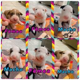 Título do anúncio: Bull Terrier Inglês Pirata,Fulvo,Tricolor,White e Black Brindle