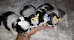 Lindas filhotes Shih Tzu disponível