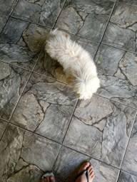 Filhote macho de poodle puro